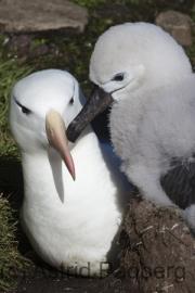 Schwarzbrauenalbatros, Balck-browed Albatross, Thalassarche mela