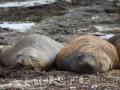 Carcass, Seeelefanten