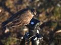 Tussock Bird
