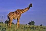Massai Mara Nationalpark, Giraffe