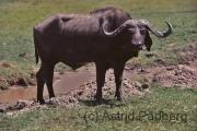 Ngorongoro Krater, Kaffernbüffel