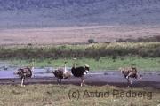 Ngorongoro Krater, Strauße