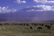 Ambroseli NP, Blick auf Kilimanjaro mit Gnuherde