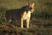 Massai Mara Nationalpark, Löwe