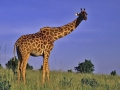 Massai Mara Nationalpark, Giraffe
