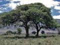 Ngorongoro Krater, Schirmakazien