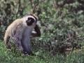 Ngorongoro Krater, Meerkatze