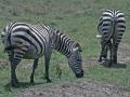 Ngorongoro Krater, Zebras
