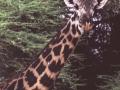 Lake Manyara, Giraffe