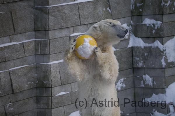 Eisbär mit Ball
