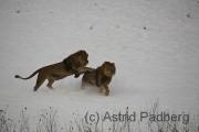 Löwen im Schnee