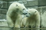 Eisbären, Anori
