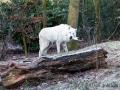 Polarwolf mit Snack