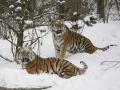 Tiger im Schnee