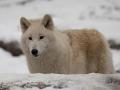 Arktischer Wolf