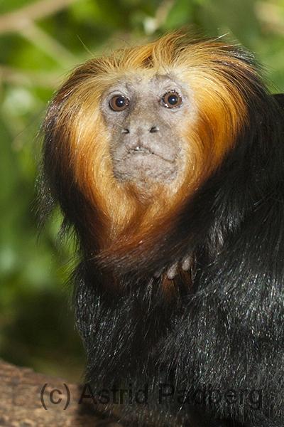 Goldkopflöwenäffchen;Leontopithecus chrysomelas