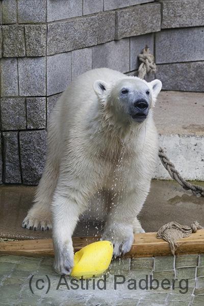 Eisbär, Anori