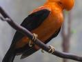 Andenklippenvogel;Rupicola peruviana;Roter Felsenhahn