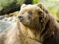 Braunbär, Kodiakbär