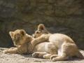 Löwenbabys