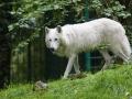 Arktischer Wolf;Canis lupus ssp.