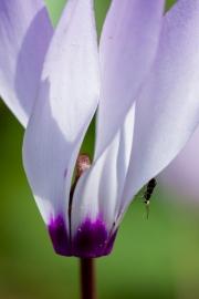 Cyclamen cyprium;Zypern Alpenveilchen