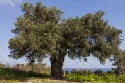 Olivenbaum in Sipahi