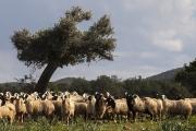 Schafe mit Olivenbaum