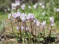 Cyclamen cyprium, Zypern Alpenveilchen