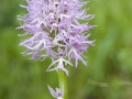 Italienisches Knabenkraut;Orchis italica