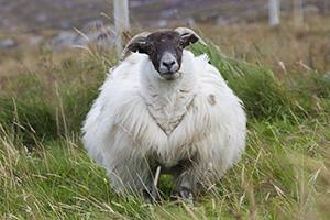 Schaf auf den Hebriden