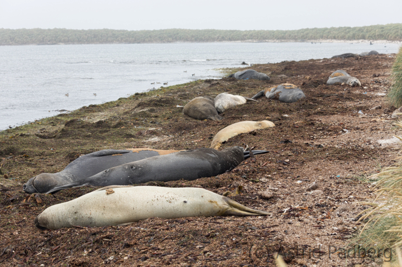 Seeelefanten auf Carcass Island