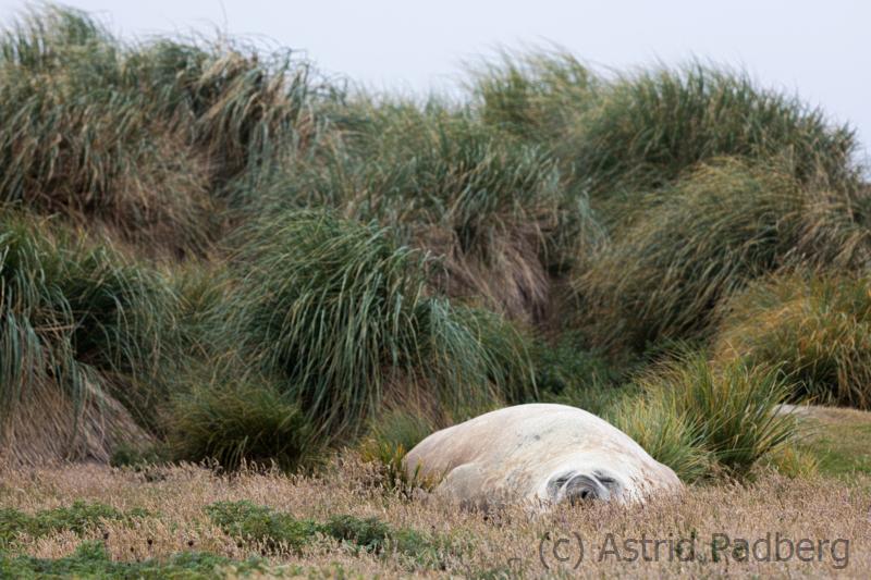 Schlafender Seeelefant, Carcass Island