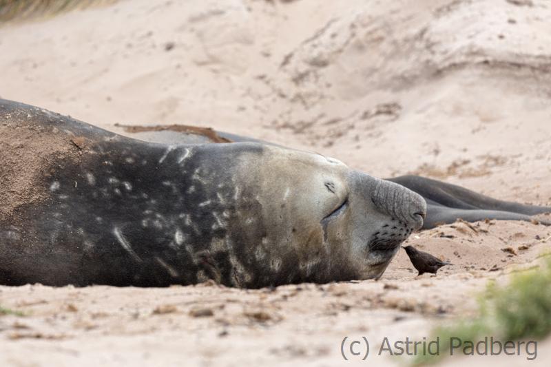 Seeelefant mit Einfarb-Uferwipper