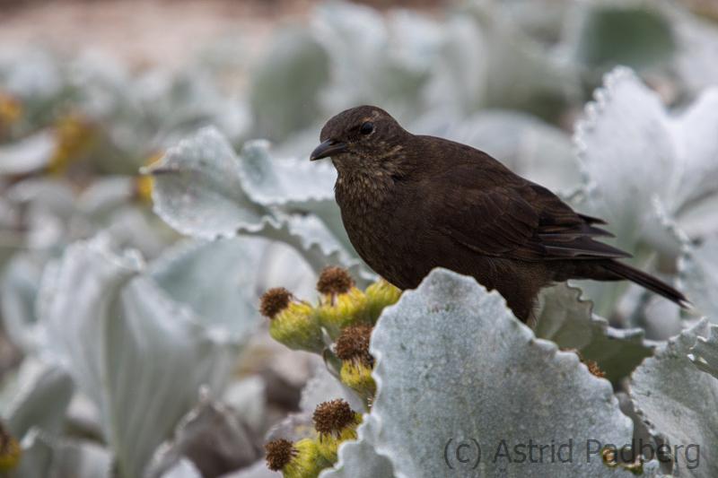 Tussockbird, Einfarb-Uferwipper