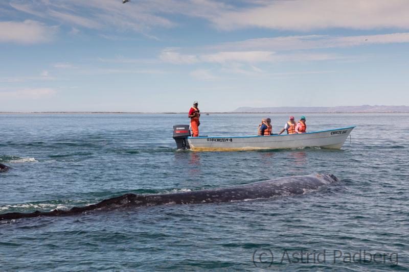 Grauwalmutter geht Längsseits