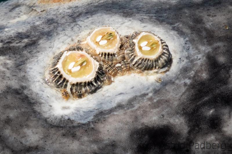 Seepocken und Läuse
