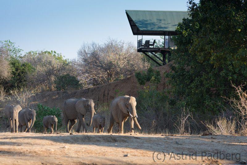 Elefanaten auf dem Weg zum Wasserloch