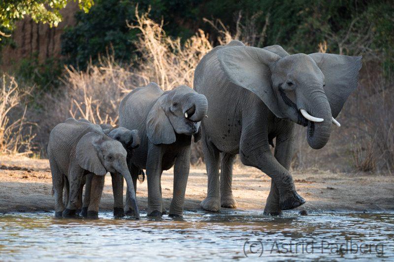 Magere Elefantenkuh mit Kälbern