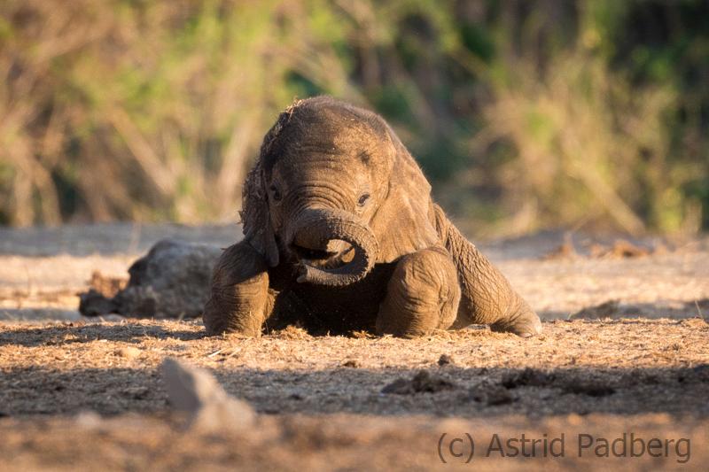 Elefantenkalb beim Staubbad