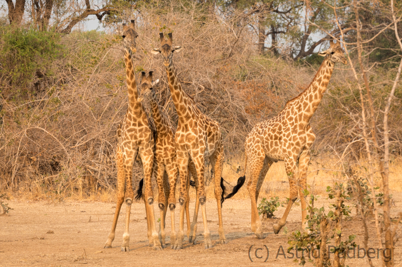 Thornicroft Giraffe, South Luangwa Nationalpark