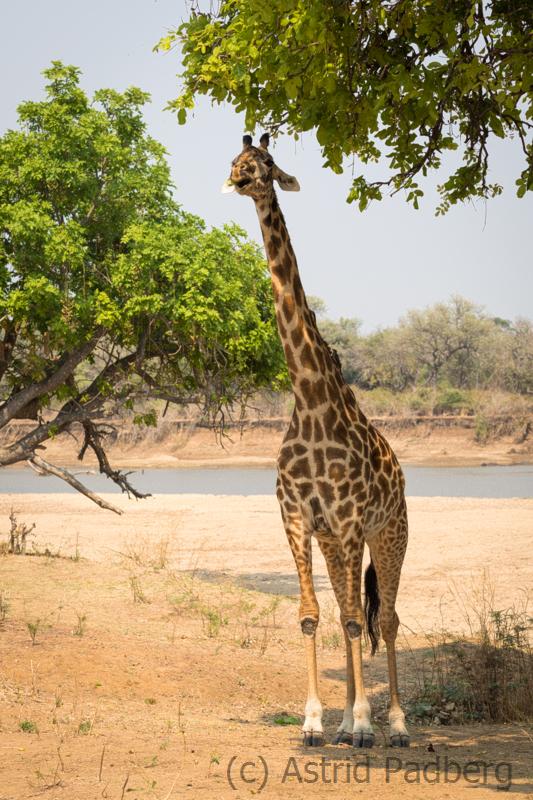 Thornicroft Giraffe, South Luangwa Nationalpark