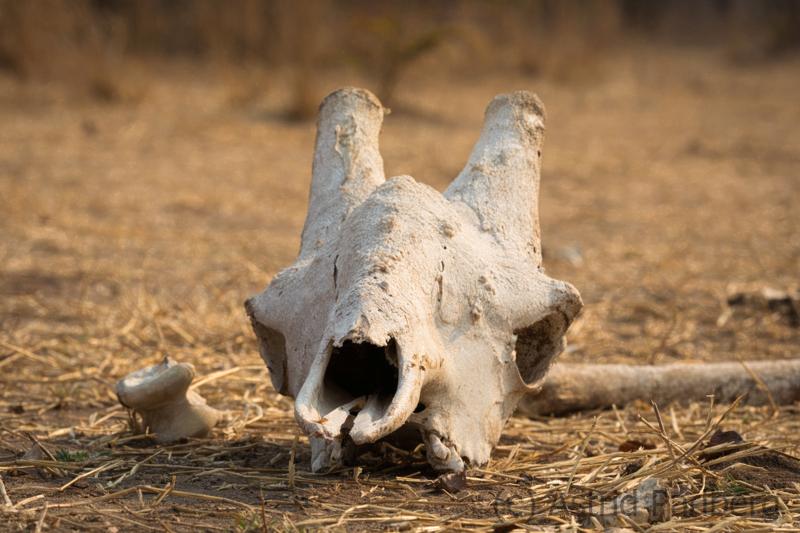 Giraffenschädel