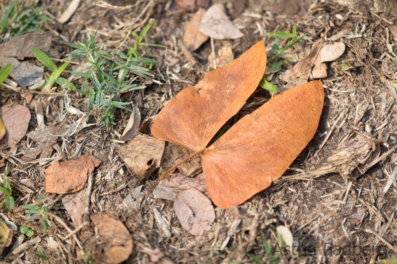 Welkes Blatt eines Mopane-Baumes