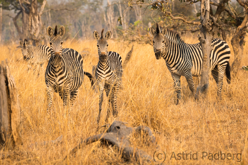 Crawshay-Zebras, South Luangwa Nationalpark