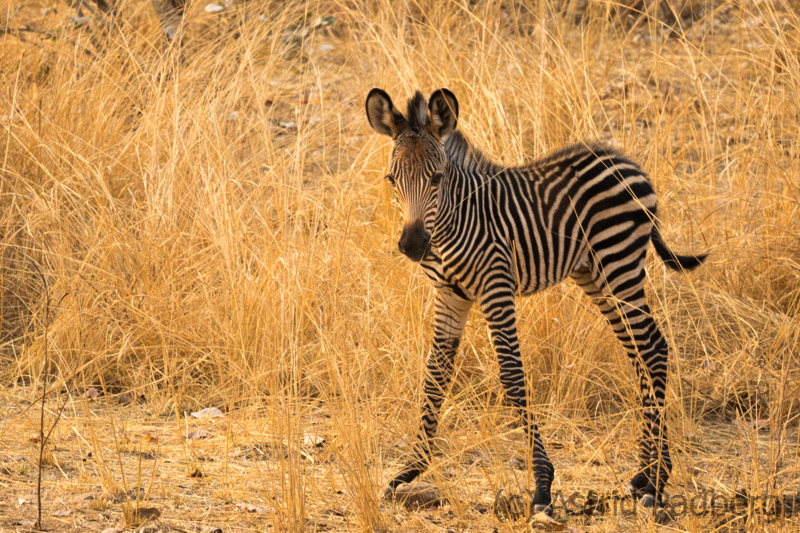 Crawshay-Zebra, South Luangwa Nationalpark