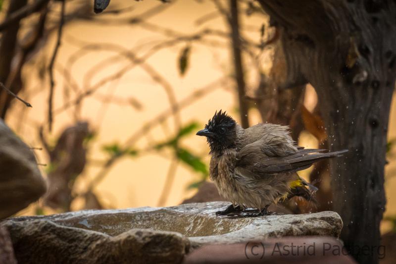 Gaubülbül (Pycnonotus barbatus)