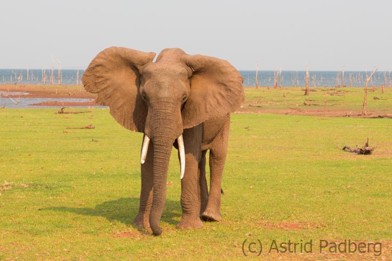 Elefant bei der Mahlzeit