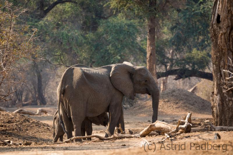 Abgemagerter Elefant ohne Stoßzähne