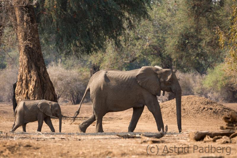Elefantenmutter mit Kalb, Mana Pools Nationalpark